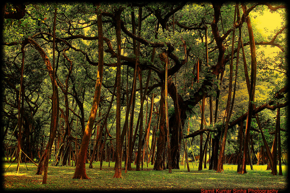 The Great Banyan Tree in Acharya Jagadish Chandra Bose Indian Botanical Garden of Howrah Kolkata