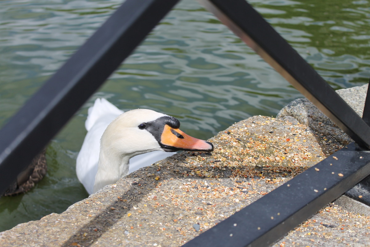 A swan at the Fountain Pond looking to be fed.
