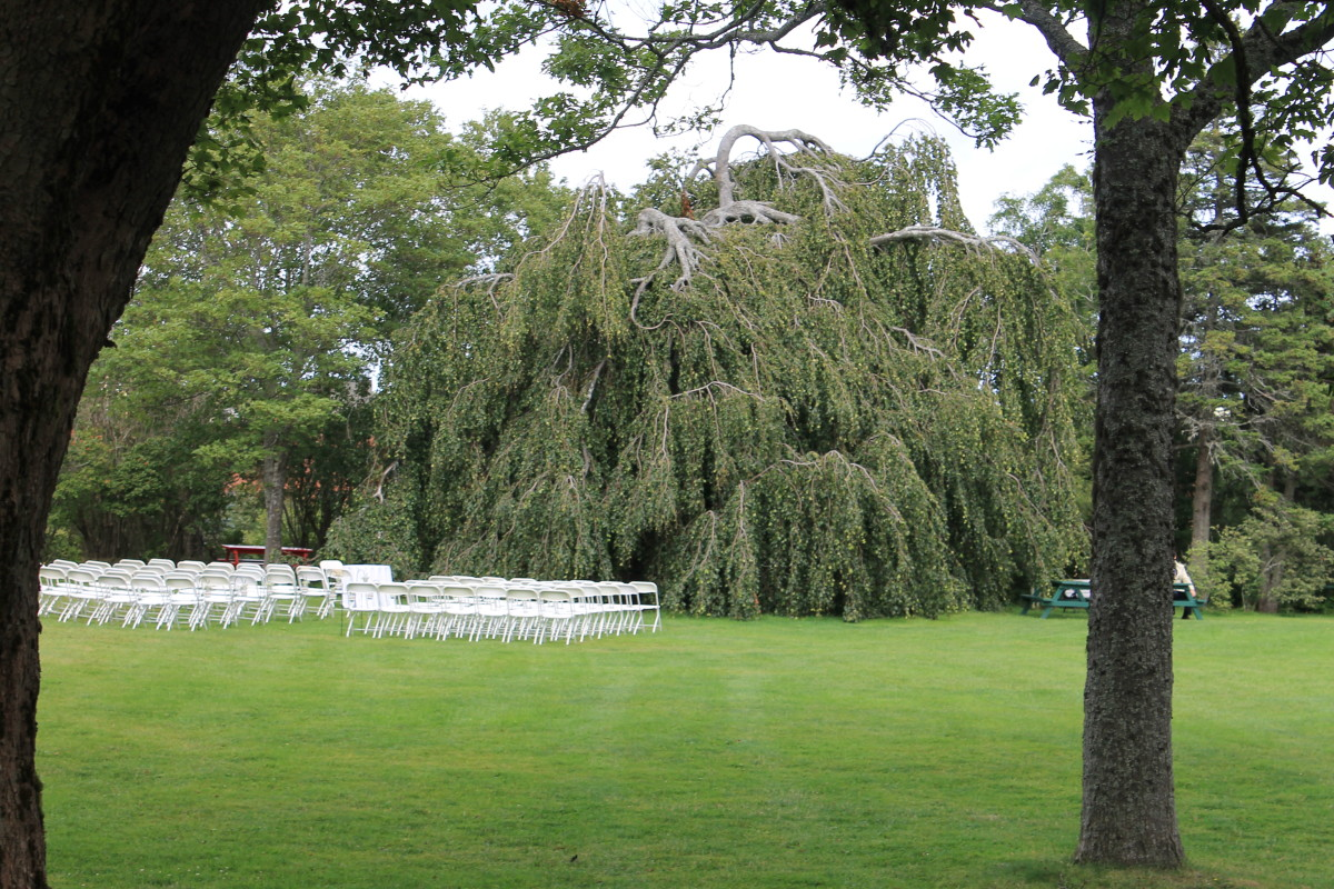 The Weeping Beech on the front lawn of the bungalow. The lawn has been set up for a wedding.