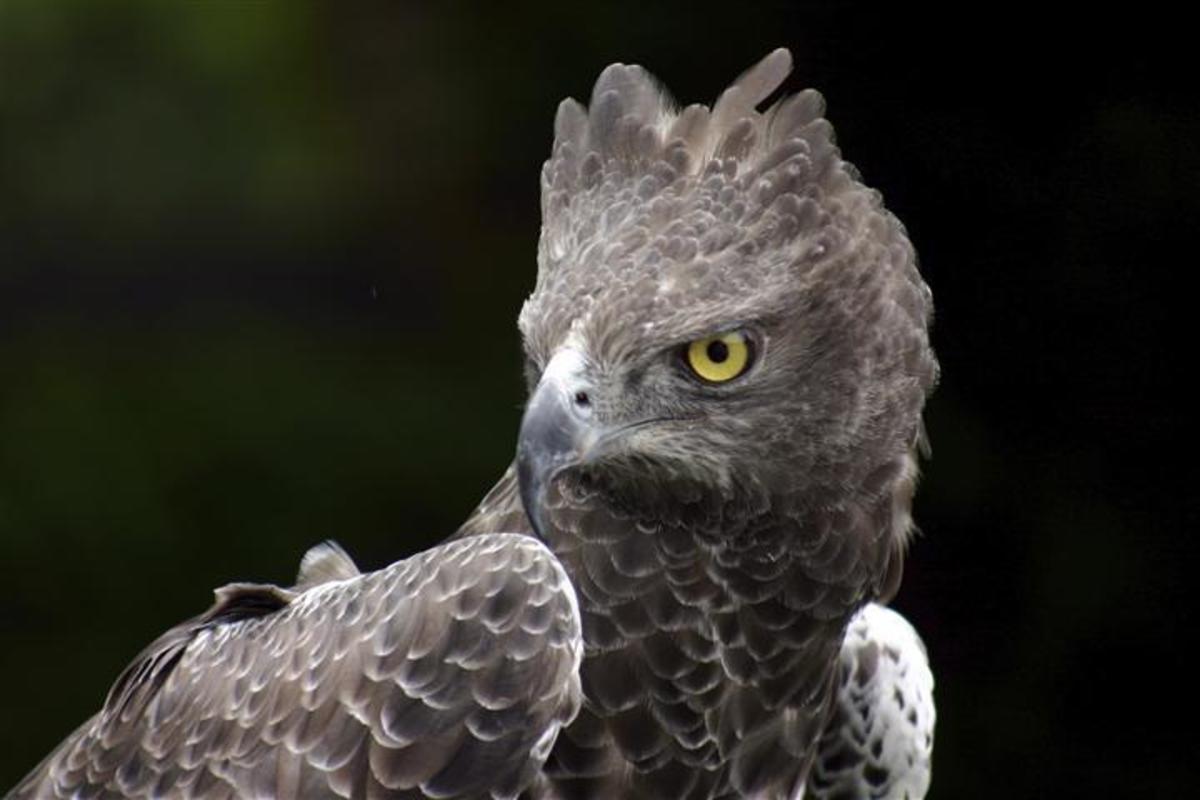 10-largest-raptor-birds