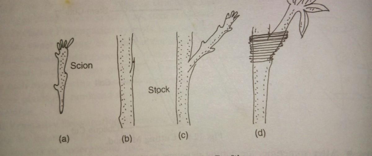 vegetative-propagation-types-advantages-and-disadvantages