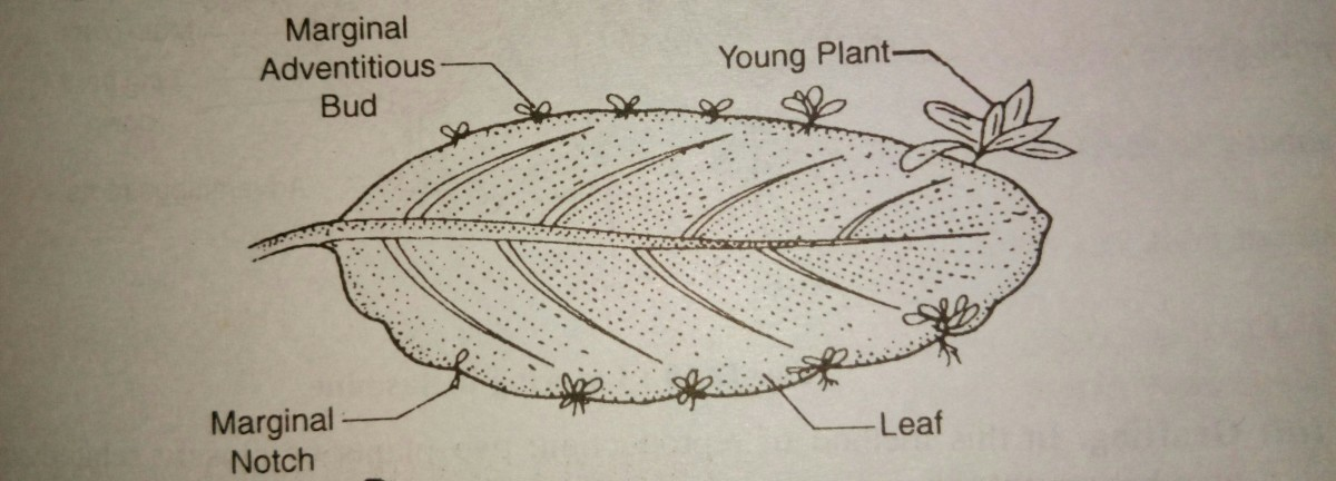 Vegetative Propagation in the leaf of Bryophyllum