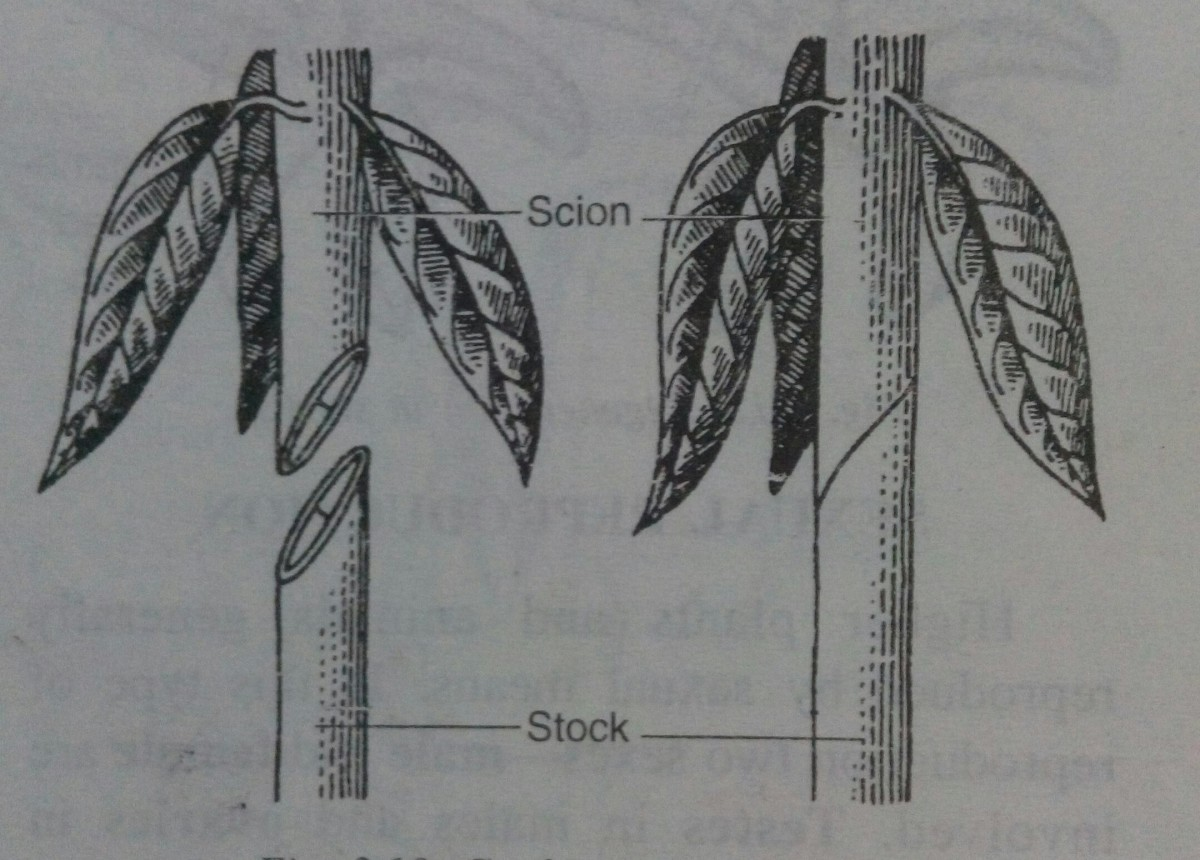 Grafting in plants