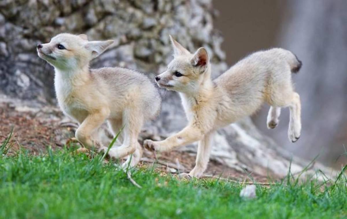 Little kit foxes