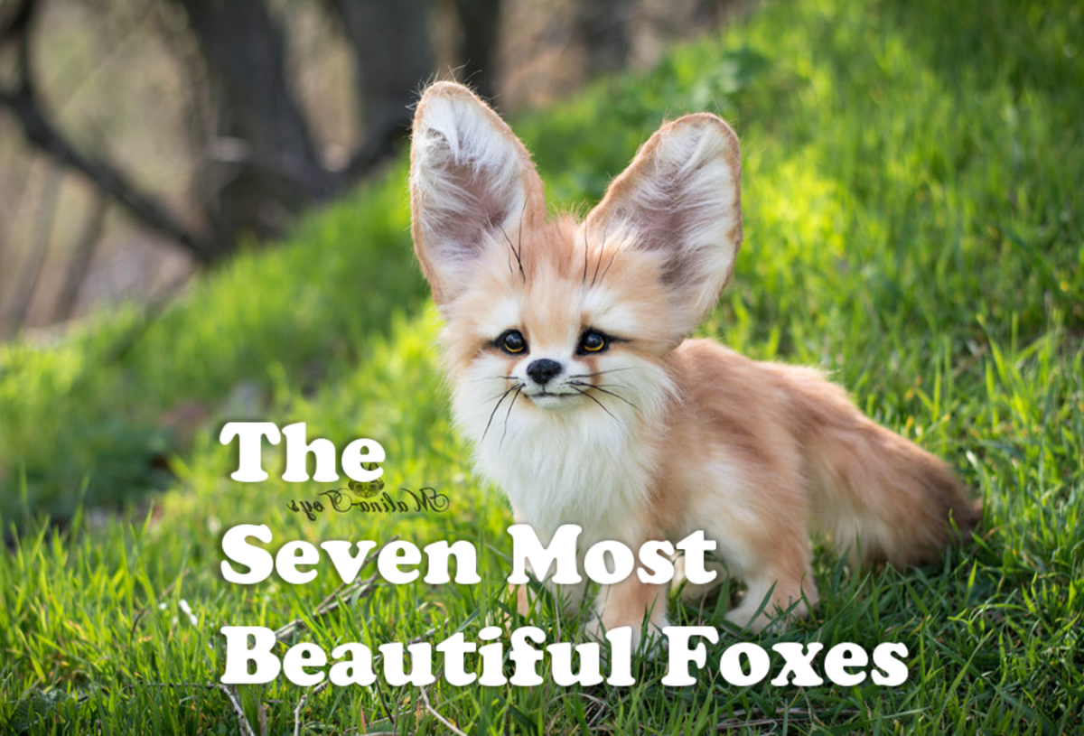 7 Most Beautiful Foxes