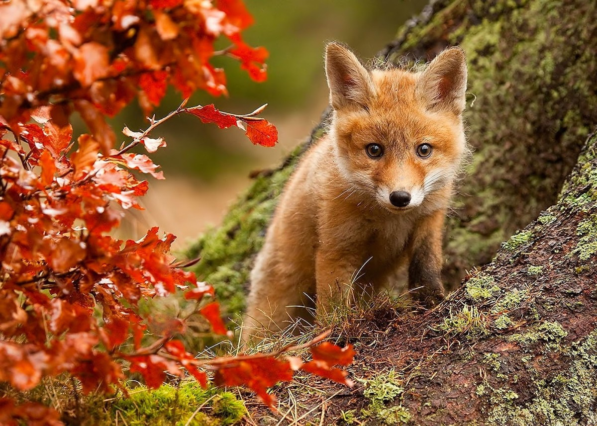 The Most Beautiful Foxes