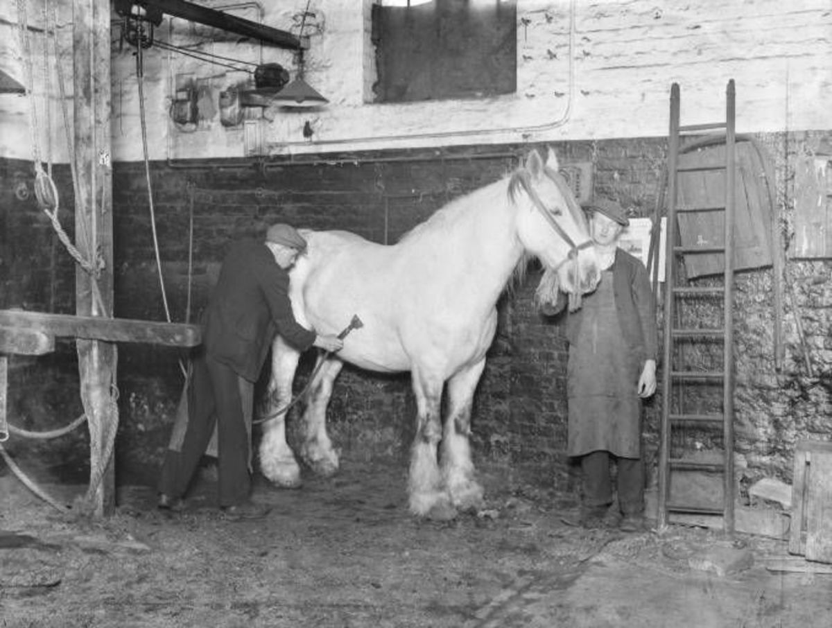 A groom clips one of the 'fleet' before passing it for duty. This was the former Midland Railway premises at the King's Road stables, St. Pancras, London NW1