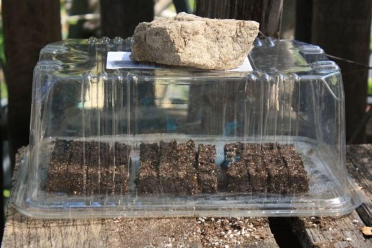 Recycled plastic salad box makes a mini greenhouse