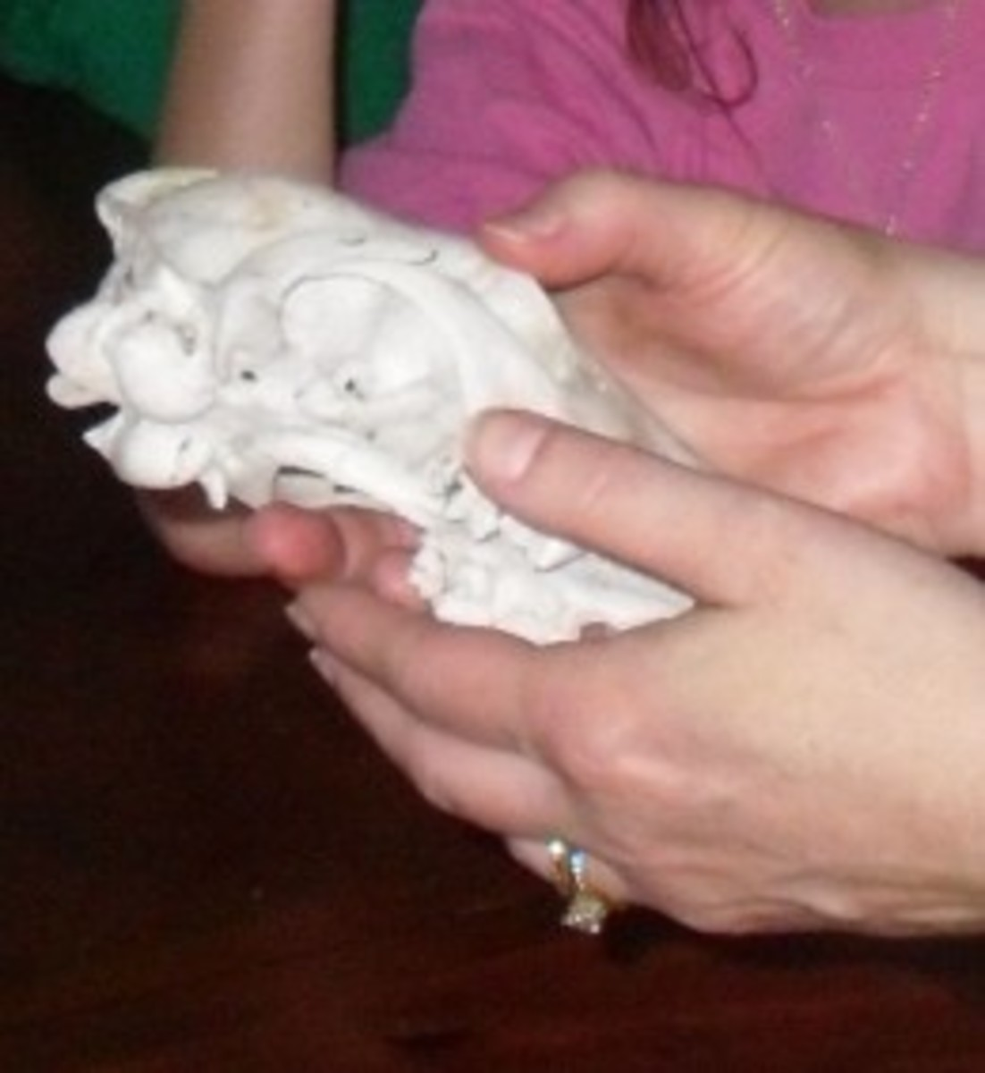 Examining the skull and teeth of a deer