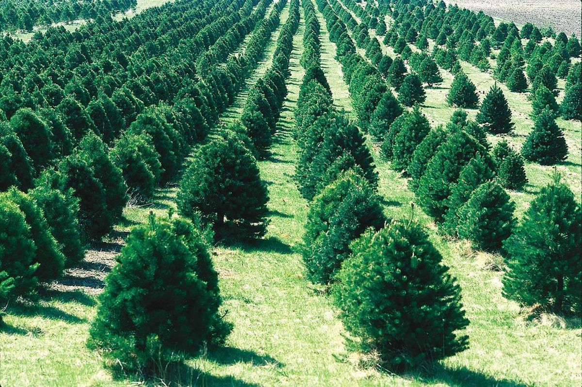 Christmas trees are big business in America