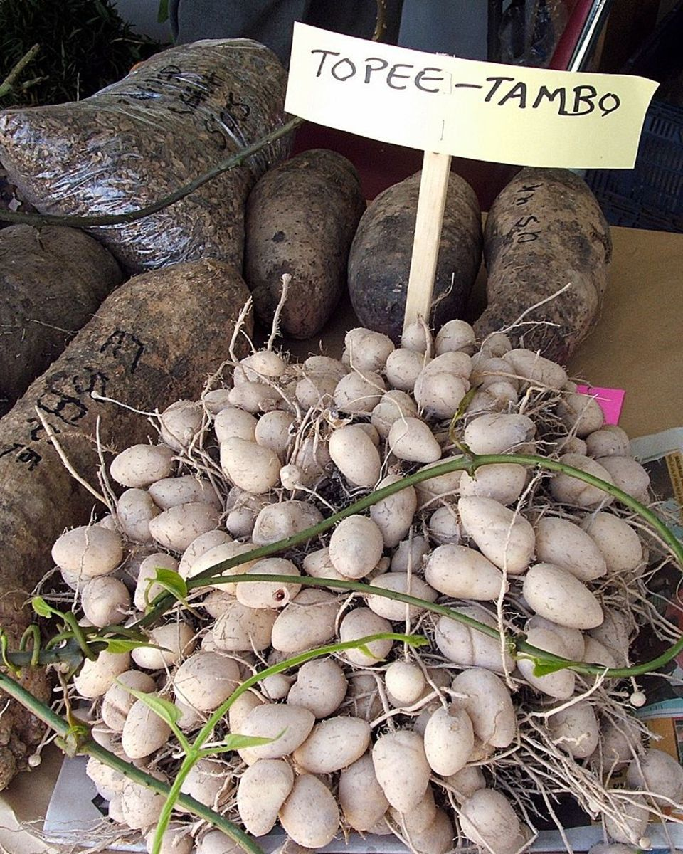 Topi Tambo, the Water Chestnut of the Caribbean and South America