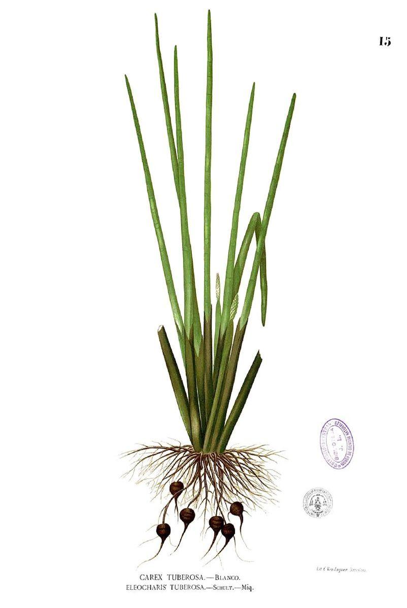 Water Chestnut plant
