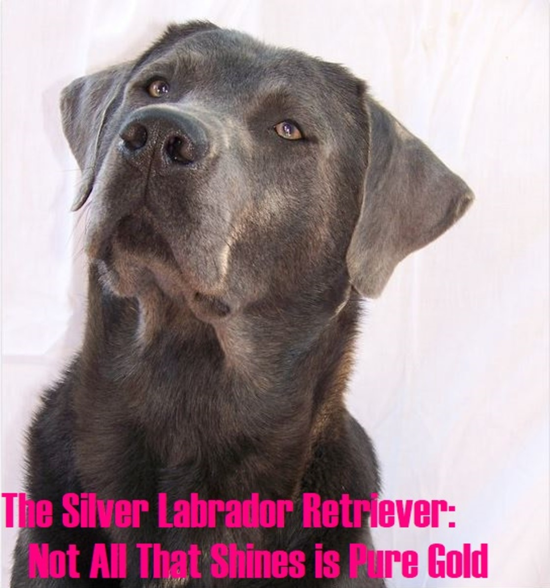 A Guide to Silver Labrador Retrievers