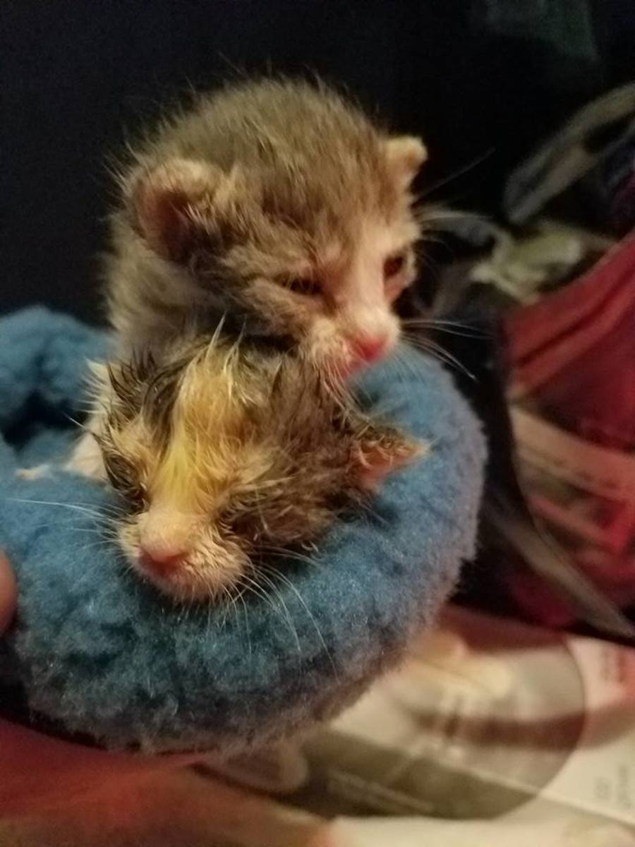Be a Kitten Hero: Last Ditch Efforts to Try when Trying to Save a Dying Kitten