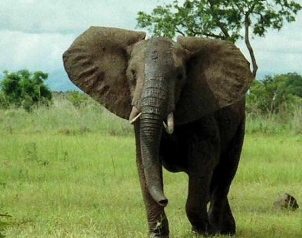 African Bush Elephant Pictures