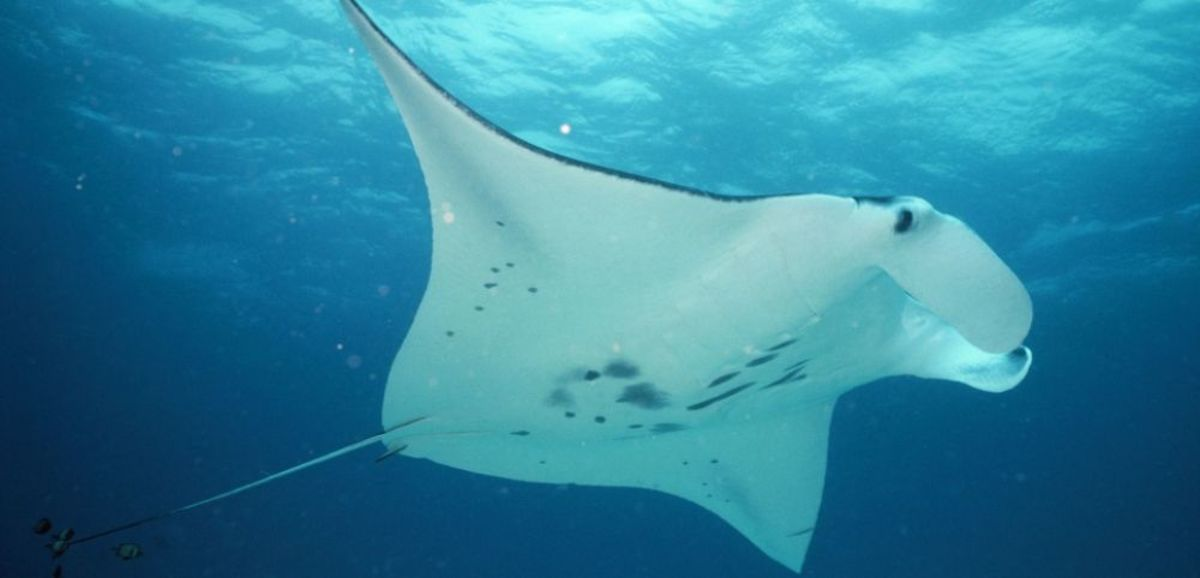 Manta Ray Picture