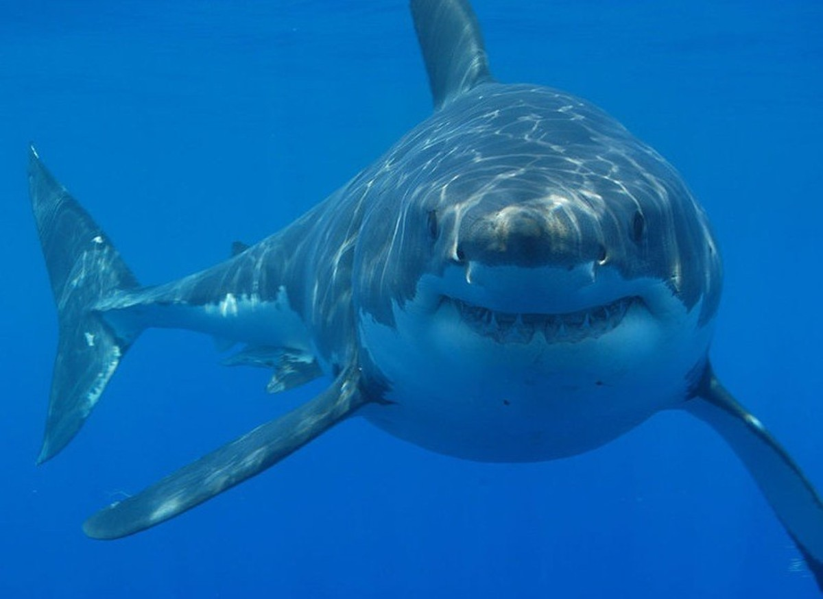 Megalodon Pictures