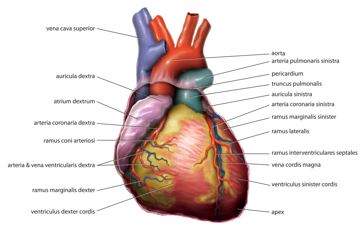 This image shows the components of the human heart