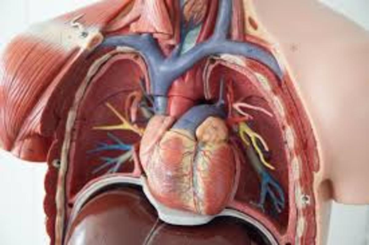 Human Chest Cavity : Heart
