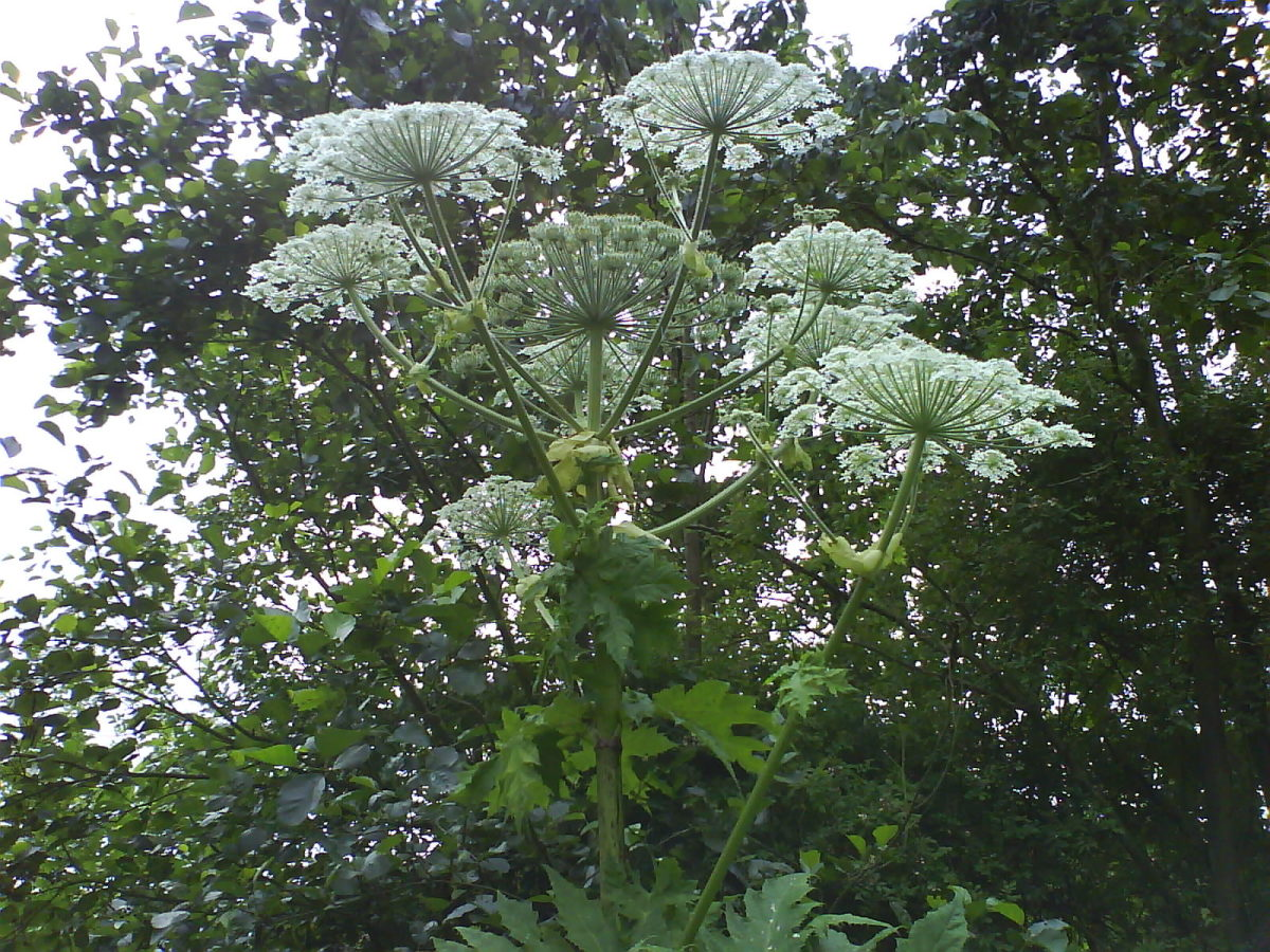 Giant Hogweed Plant Sap Dangerous