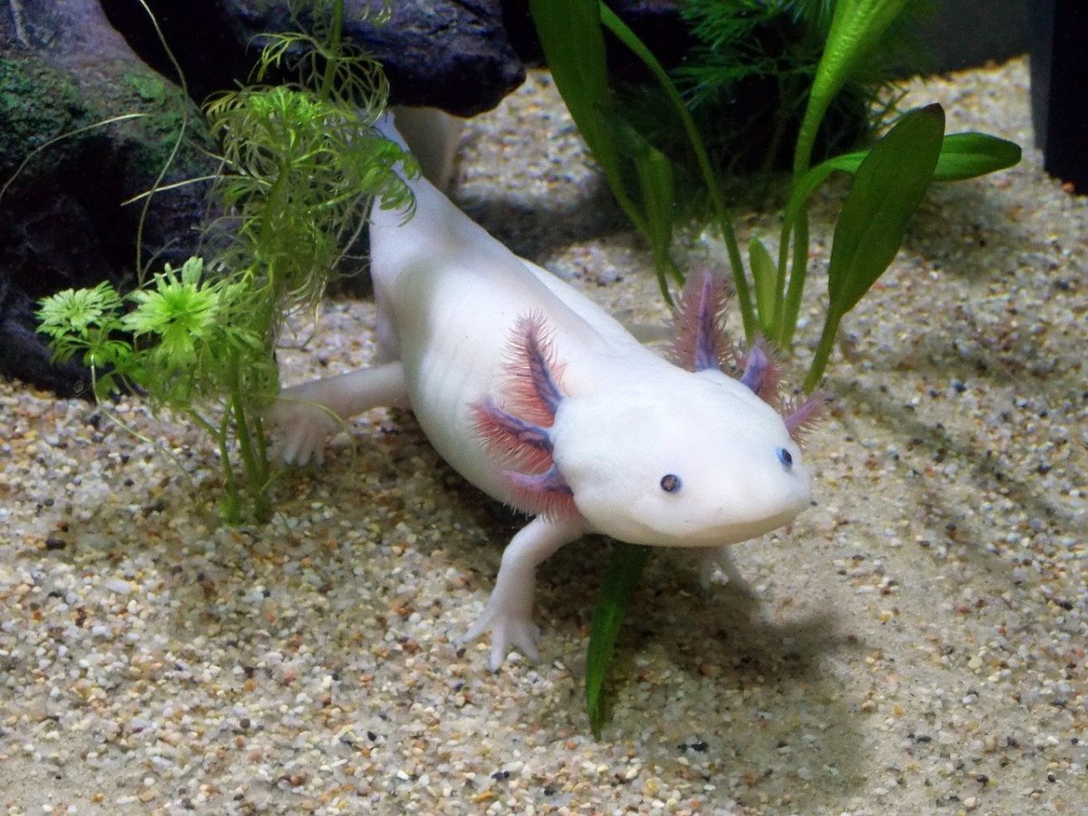 Axolotl, or Mexican Walking Fish, Care