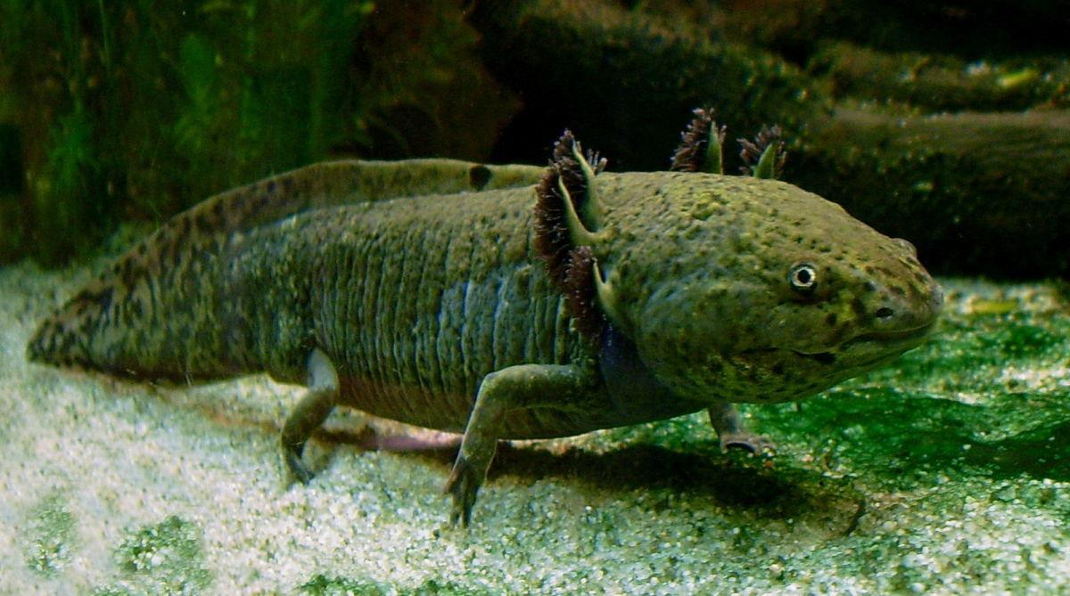 Wild type axolotl