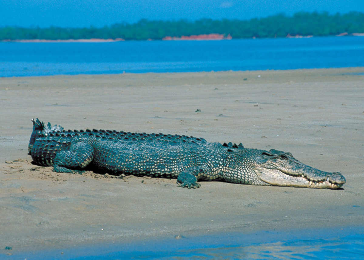 Saltwater crocodile on the beach in Darwin, Australia.