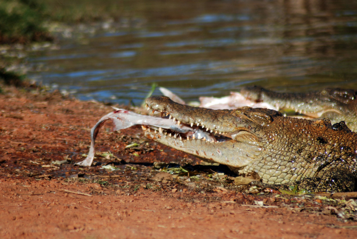 A saltwater crocodile feeding in Australia. Salties will often eat much bigger prey than freshies.