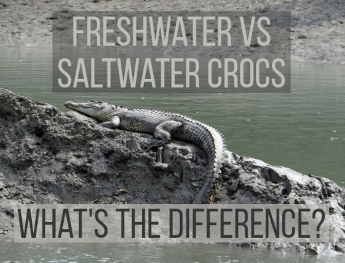 8 Main Differences Between Freshwater and Saltwater Crocodiles