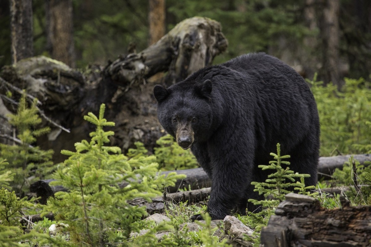 Black bears are beginning to migrate into Western Tennessee.