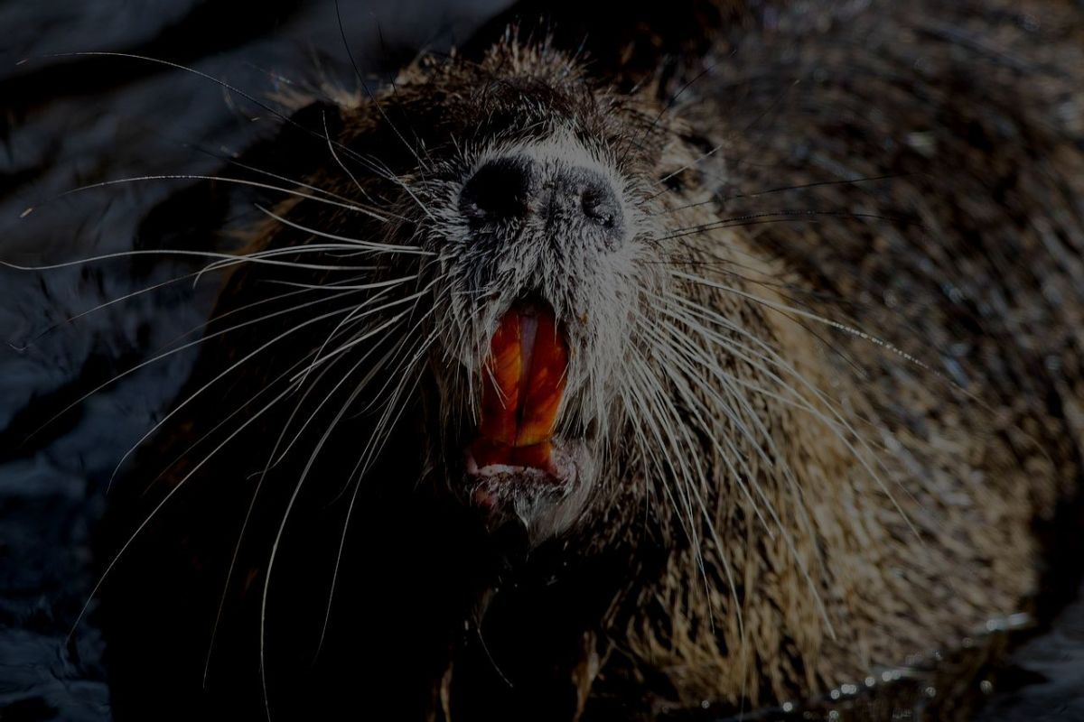 Nutria - know to attack humans and pets