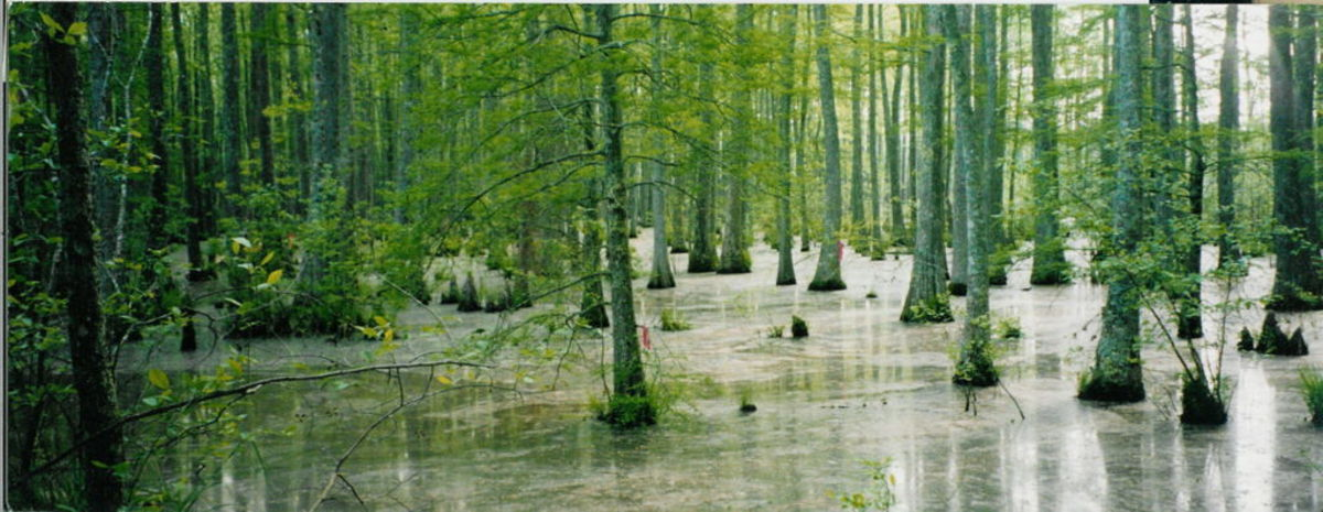 Wolf River Swamp