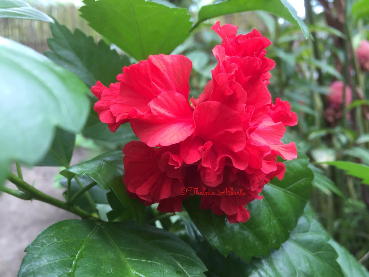 Hibiscus flower from my tropical garden.