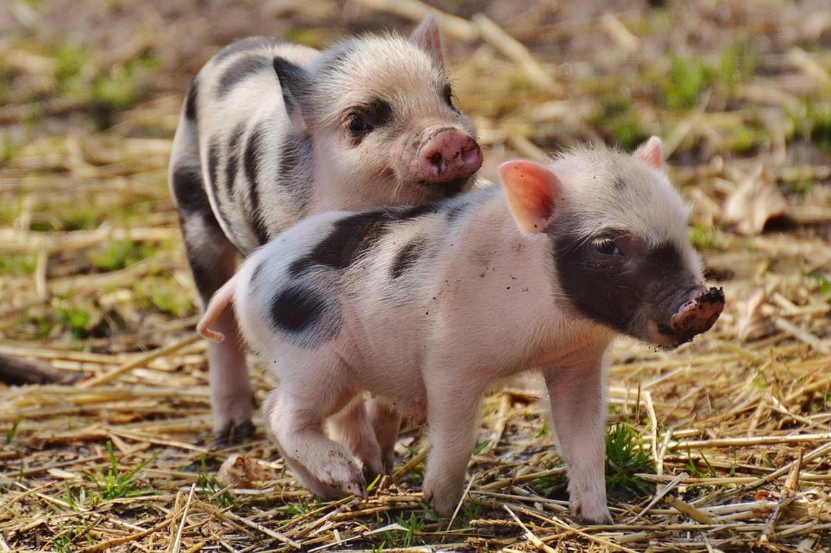 Pot Belly Pigs - Best mammal pets