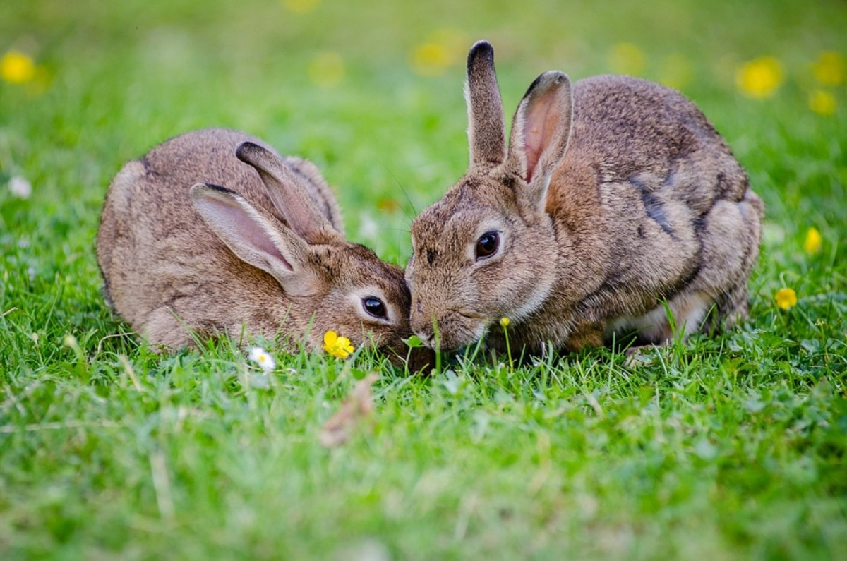 Rabbits - Animals you can have as pets