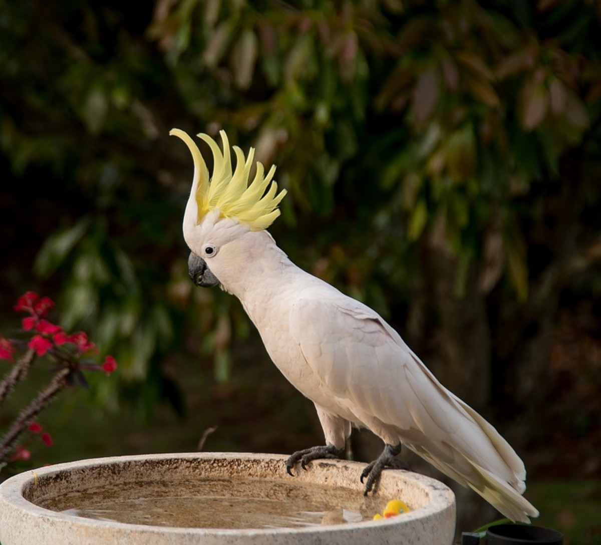 Best pets to have - Cockatoo