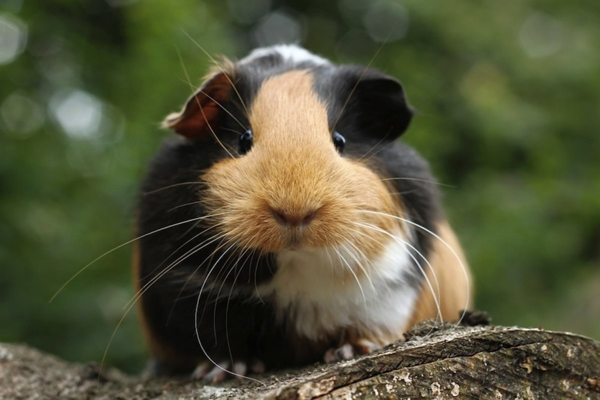 Things to Consider Before Getting a Guinea Pig