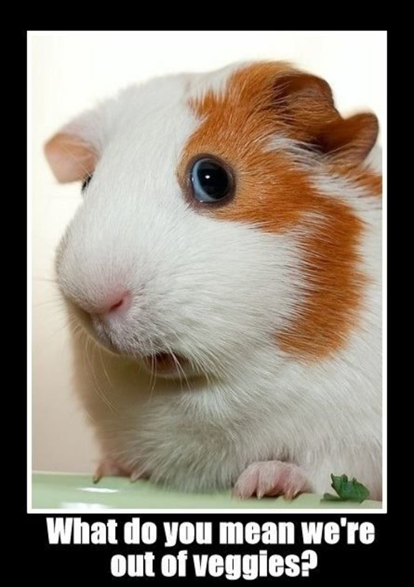 things-to-consider-before-getting-a-guinea-pig