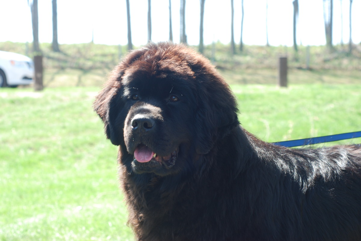 your-well-mannered-newfoundland