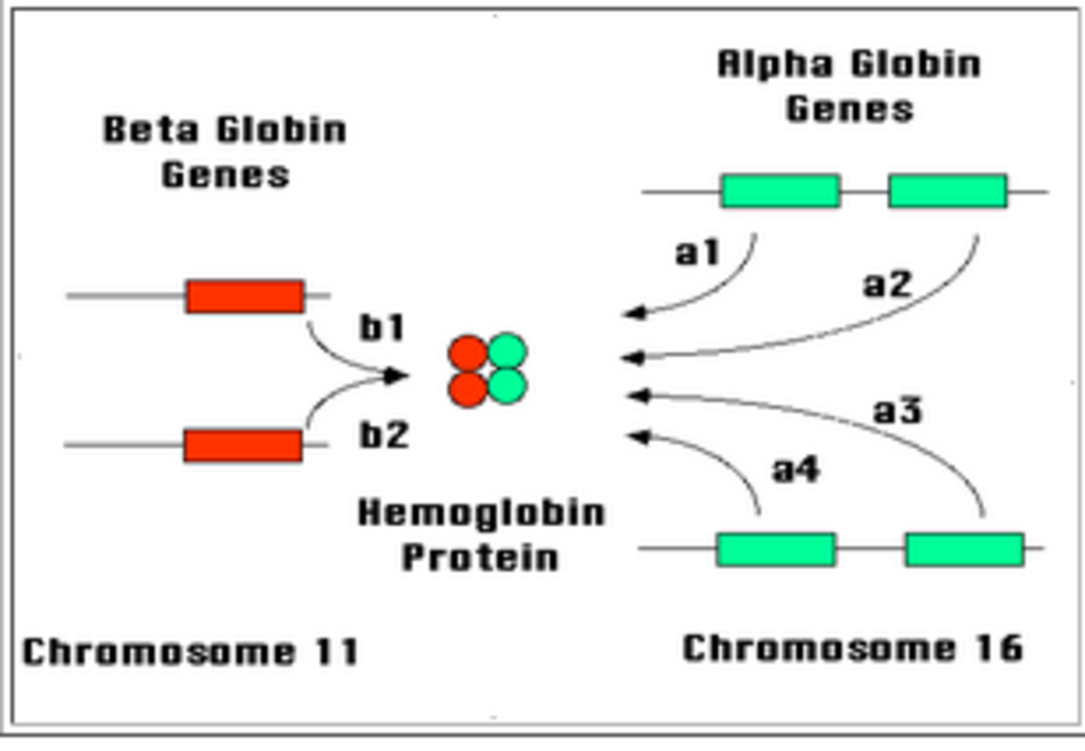 Pic: How haemoglobin protein is produced