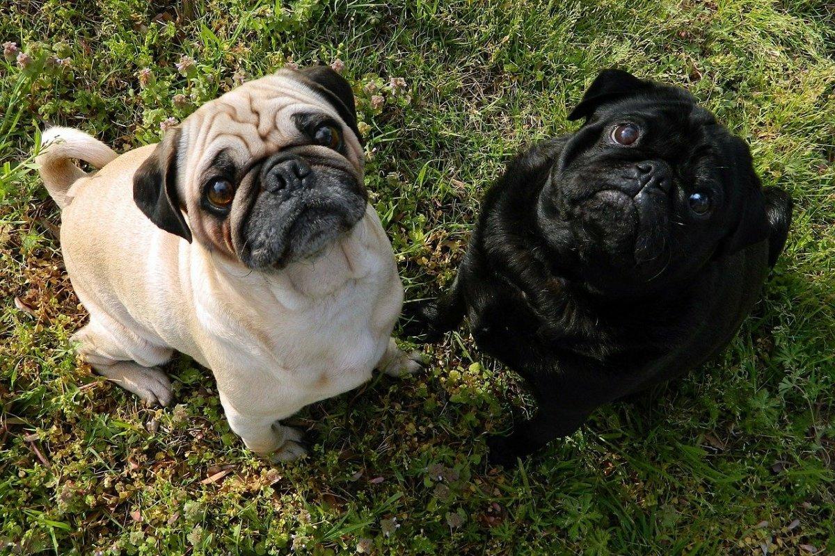 Pug Lab Mix - Why You'll Love a Pugador