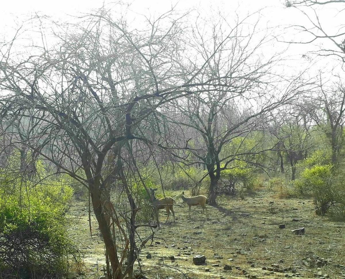 Jackals at the Sariska National Park.