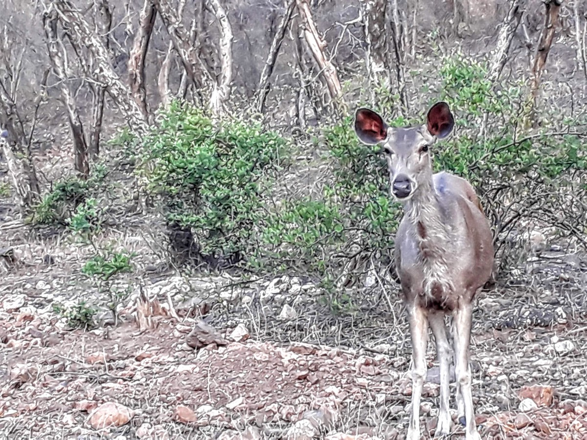 Deer at the Sariska National Park