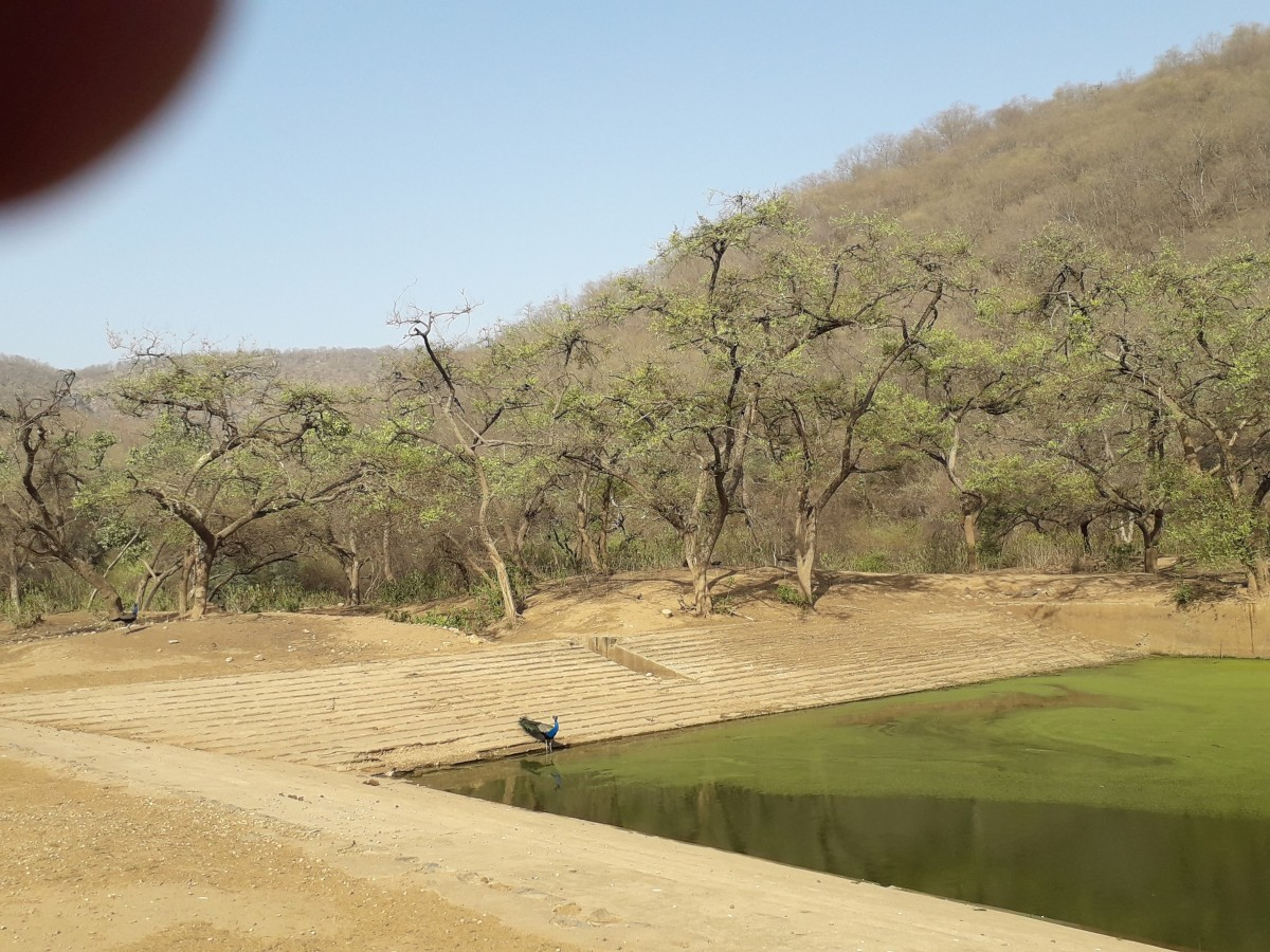 Water bodies at the Sariska National Park is well maintained and is used by the animals and birds to drink water or cool themselves
