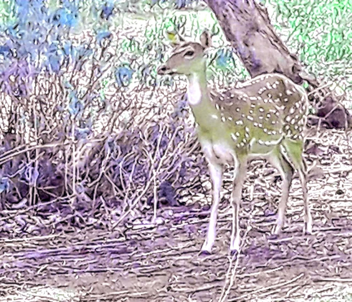 A golden spotted deer at the Sariska National Park