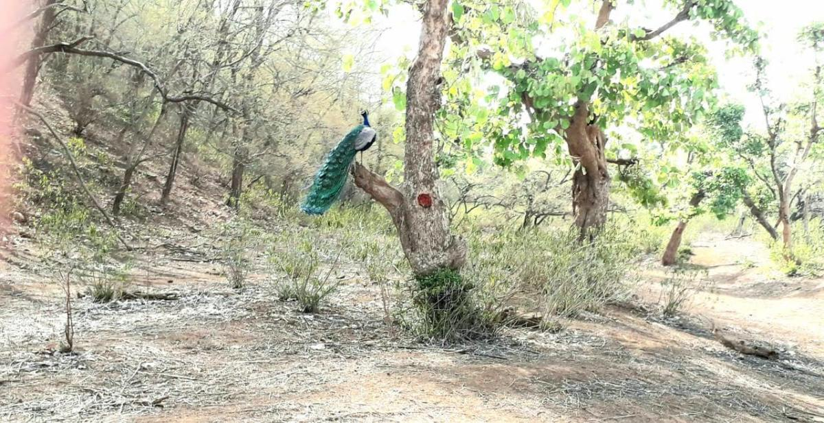 Peacocks move gracefully in the Sariska National Park