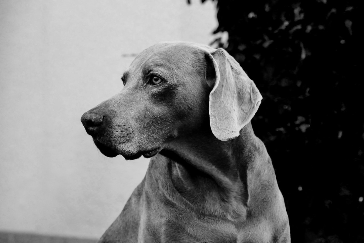 Weimaraner Vizsla Mix - The Vizmaraner Cross