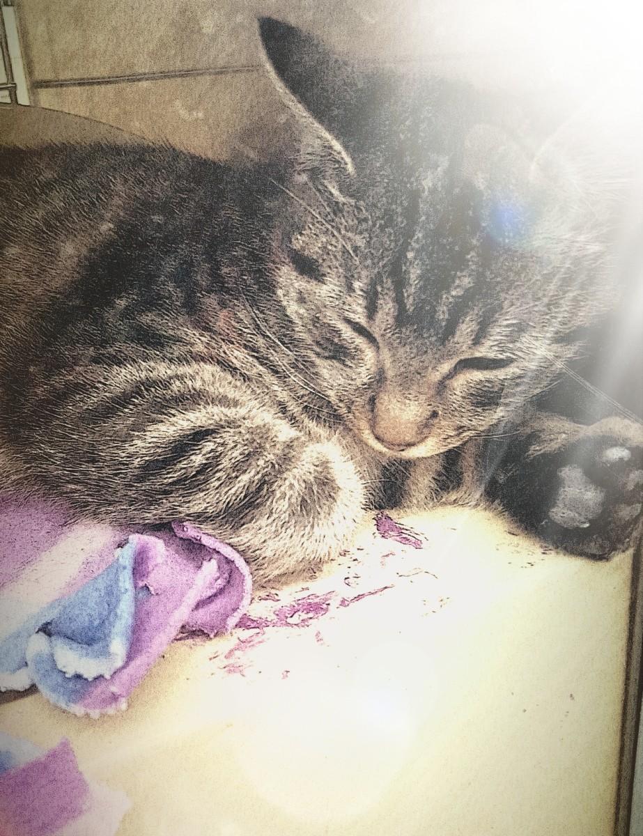 Mackerel Tabby Cat