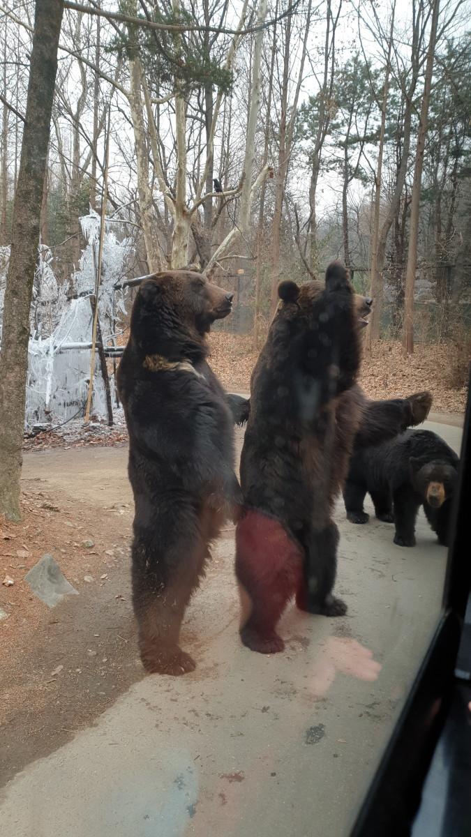 Highlight of the Safari World ride at Zootopia - Bears