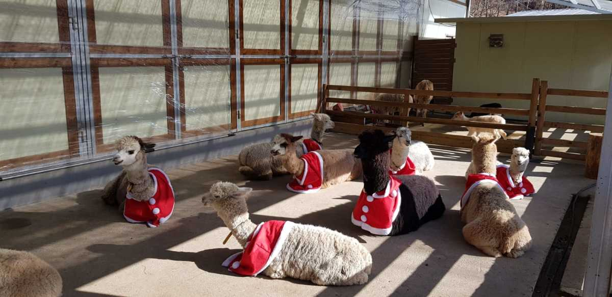 Alpacas resting